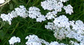 yarrow species