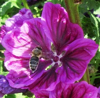 Malva sylvestris Mallow blue