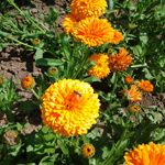 Calendula filled seeds online
