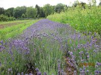 Lavandula officinalis / Lavandula angustifolia / Lavandula vera,