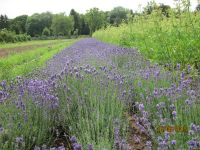 Lavandula officinalis , Lavendel, Echter BIO