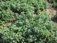 Marrubium vulgare, Andorn