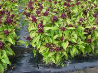 Ocimum basilicum, Basilikum Thai/Siam Queen