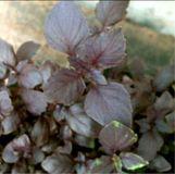 Ocimum basilicum, Basil red leaves organic