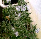 Rosmarinus officinalis, Rosmarin