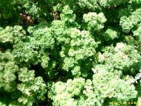 Petroselinum crispum, krause Petersilie BIO