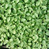 Stevia rebaudiana, Süßkraut