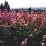 Salvia sclarea, Muskateller Salbei