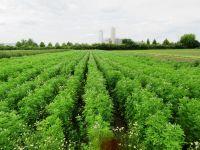 Trigonella coerulea, Sweet Trefoil organic