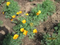 Eschscholzia californica, Kalifornischer Mohn, Goldmohn BIO