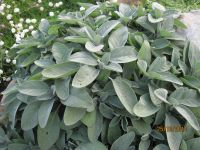 Salvia officinalis, Salbei, Echter bio