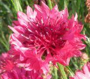 Centaurea cyanus, Kornblume rot