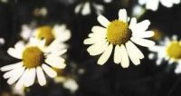 Matricaria recutita, Chamomile, German organic