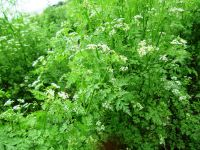 Anthriscus cerefolium, Kerbel  Fijne Krul organic