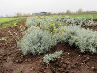 Helichrysum italicum, Currykraut
