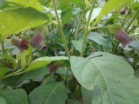 Atropa belladonna,Tollkirsche