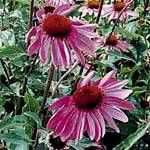 Echinacea purpurea, Purple Coneflower, Common organic