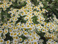 Chrysanthemum parthenium, Mutterkraut