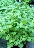 Coriandrum sativum, Koriander BIO