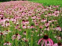 Echinacea pallida, Sonnenhut, Blassblütiger