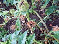 Datura stramonium, Stechapfel, Artern
