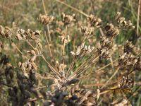 Foeniculum vulgare, Fenchel, Berfena, BIO