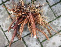 Levisticum officinale, Lovage organic