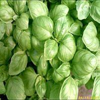 Ocimum basilicum, Basilikum, Mittelgroßblättriges Grünes