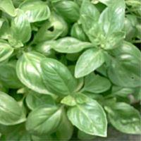 Ocimum basilicum, Basil organic