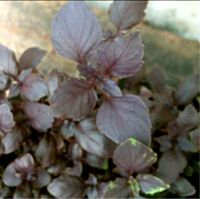 Ocimum basilicum, Basil red leaves organic