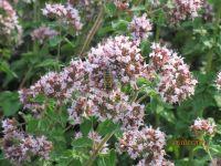 Origanum vulgare, Majoram, Wilde organic