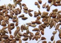 Pimpinella anisum, Anis