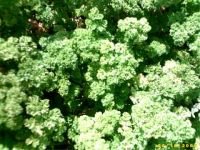 Petroselinum crispum, Parsley organic
