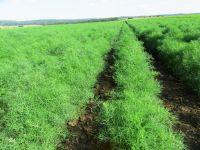 Anethum graveolens, Dill organic