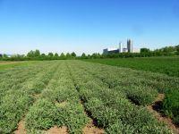 Salvia officinalis, Salbei, Echter, Extrakta, BIO