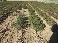 Satureja hortensis, Savory, Summer organic