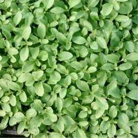 Stevia rebaudiana, Sweet herb organic