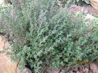 Thymus vulgaris, Thyme, Common organic
