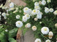 Anthemis nobilis / Chamaemelum nobile, Roman Chamomile, Doksan
