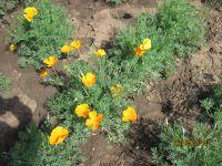 Eschscholzia californica, Californian Poppy organic