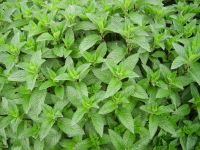 Mentha x piperita, Pfefferminze 'Multimentha' bio