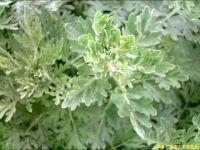 Artemisia absinthium, Wermut