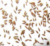Artemisia vulgaris, Beifuß