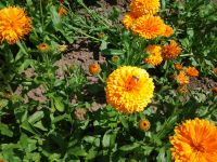 Calendula officinalis, Ringelblume, Orange King