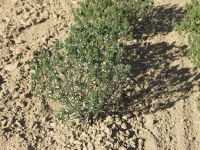 Satureja hortensis, Savory, Summer