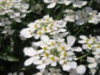 Iberis amara, Bittere Schleifenblume