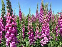 Digitalis purpurea, Foxglove, Purple