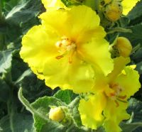 Verbascum densiflorum, Königskerze BIO
