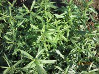 Artemisia drancunculus, Deutscher Estragon bio
