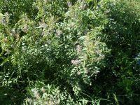 Glycyrrhiza glabra, Süßholz